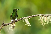 Buff-tailed Coronet (Boissonneaua flavescens) Perched at a branch, Bellavista reserve in northwest Ecuador, Tandayapa region, Ecuador, South America.
