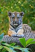 Siberian Tiger, Phantera tigris altaica, young animals (captive)