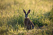 Hare (Lepus capensis), wet from dew in meadow, Bavaria, Germany.