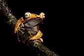 Dark-eared tree frog Polypedates macrotis. Image taken at Kubah National Park, Sarawak, Malaysia.