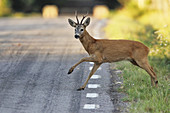 Roe deer buck jumping over road, Botkyrka, Stockholm, Sweden