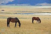 Boulder Valley horses, Jefferson County, Montana.