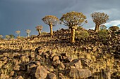 Keetmanshoop, Namibia - Quiver tree forest in the Playground of the Giants.