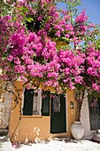House and bouganville, Longos village, Ionian Islands, Paxi island, Greece, Europe.