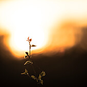 Branch of a birch with young leaves in the warm backlit of the sunset -  Germany, Brandenburg, Spreewald