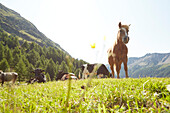 Horses on the grass fileds in the mountains