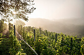 sun shines through foggy landscape at vineyard on a autumn morning, vintage in Ickelheim, Frankonia, Bavaria, Germany