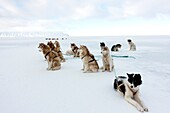 Greenlandic husky dog team staked to the ice near the floe edge in midnight sun.