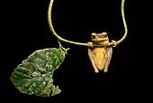 Neotropical Treefrog (Osteocephalus yasuni), Treefrog family (Hylidae), Amazon rainforest, Yasuni National Park, Ecuador.