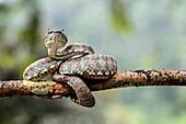 Adult venomous Eyelash Palm-Pitviper (Bothriechis schlegelii), Viper family (Viperidae), Chocó rainforest, Ecuador