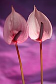 pink anthuriums, open, heart-shaped flowers, represent hospitality.