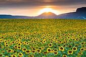 Sunflowers plantation. Arteaga village, Tierra Estella county. Navarre, Spain, Europe.