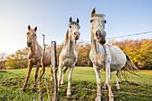 Horses near the Tours de Saint-Jacques in the Natural Park des Massif de Bauges, Haute-Savoie, Rhône-Alpes, France.