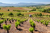 Vineyard near Pieros village, Way of St. James, Leon, Spain.