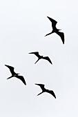 Adult great frigatebirds, Fregata minor, in flight near Isabela Island, Galapagos Islands, Ecuador.