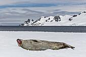 Weddell seal, Leptonychotes weddellii, resting on ice at Half Moon Island, South Shetland Island Group, Antarctica.