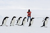 Adult Adélie penguins, Pygoscelis adeliae, walking on first year sea ice in Active Sound, Weddell Sea, Antarctica.