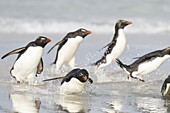 Rockhopper penguin (Eudyptes chrysocome), subspecies southern rockhopper penguin (Eudyptes chrysocome chrysocome). landing as a group to give individuals safety in numbers. South America, Falkland Islands, January.