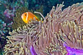 Blackfinned Anemonefish, Amphiprion nigripes, Magnificent Sea Anemone, Heteractis magnifica, Coral Reef, South Ari Atoll, Maldives, Indian Ocean, Asia.