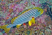 Striped Oriental Sweetlips, Plectorhinchus orientalis, North Ari Atoll, Maldives, Indian Ocean, Asia.