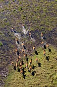 Red Lechwe (Kobus leche), running in the floodplain, aerial view. Okavango Delta, Moremi Game Reserve, Botswana. The Okavango Delta is home to a rich array of wildlife. Elephants, Cape buffalo, hippopotamus, impala, zebras, lechwe and wildebeest are just