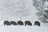 Wild boars (Sus scrofa), Spessart, Bavaria, Germany, Europe.