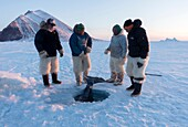 Group of Inuit or Inughiut hunters from Qaanaaq, Greenland at the floe edge in Hvalsund, near Herbert island. Pulling out Greenland shark which has been caught using baited hook through hole in the sea ice.