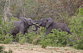 Young Elephant bulls measuring their strength, Krueger National park, South Africa, Africa