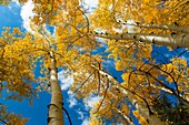 Looking up into tops of bright yellow fall Aspen trees in Colorado.
