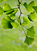 young leaves of Ginkgo Biloba, backlit, park in Geneva, Switzerland, Europe