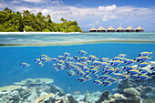 Half underwater view with school of fish, Maldives, Ari Atol, Indian Ocean.