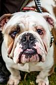 Aggressive Dog, High Hurstwood, Sussex, UK.