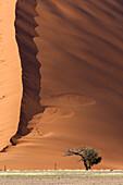 Camelthorn tree (Acacia erioloba), and the sand dune at the botton, Namib-Naukluft National Park, Namib desert, Namibia.