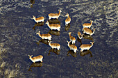 Red Lechwes group (Kobus leche), in the water. Aerial View of the Okawango Delta, Botswana. The vast inland delta is formed from the Okavango River. This flows into the Delta, creating a beautiful mosaic of water channels, grasslands, forests and lagoons.