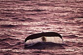 Humpback Whale (Megaptera novaeangliae) with tail fluke raised for diving in the light of the midnight sun, Erik Eriksenstretet, Svalbard.