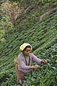 A female labor worker harvesting tea leaves in the tea plantation of the Glenburn Tea Estates in Darjeeling, first established in 1859.