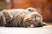 British shorthair cat lying down on rug looking up.