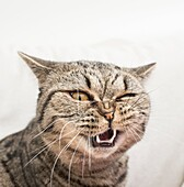 Cat with funny and crazy expression. Face of shock and disgust.