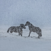 Icelandic Horses in a snowstorm, Iceland.