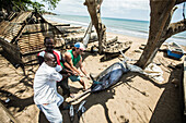 Young man helping native fishermen to pull a big fish onto the beach, Sao Tome, Sao Tome and Principe, Africa