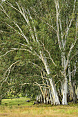 Forest of eucalyptus trees, Garden Castle, Mzimkhulu Wilderness Area, Drakensberg, uKhahlamba-Drakensberg Park, UNESCO World Heritage Site Maloti-Drakensberg-Park, KwaZulu-Natal, South Africa