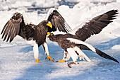 Steller´s Sea Eagle, Haliaeetus pelagicus, fighting on the ice, Rausu, offshore Hokkaido, Sea of Okhotsk, Japan.