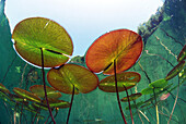 European water lily´s underwater view in a lake of France. Nymphaea alba.