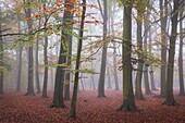 Foggy conditions in an autumnal woodland in Essex, England, United Kingdom.
