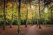 An autumnal woodland in Essex, England, United Kingdom.