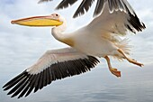 Great White Pelican (Pelecanus onocrotalus) in flight against cloudy sky, close up, Walvisbaai, Namibia.