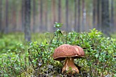 King Bolete (Boletaceae) on taiga forest floor.