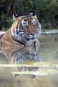 Bengal Tiger (Panthera tigris tigris) relaxing in water to cool down, Ranthambhore national park, Rajastan, India.