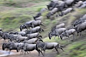 Herd of Blue Wildebeest (Connochaetes taurinus) running down riverbank for crossing the Mara River with motion blur, Serengeti national park, Tanzania.