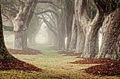 A double row of Oak trees in the mist disappears into the distance creating a mystical scene. St. Simons Island, Georgia, USA